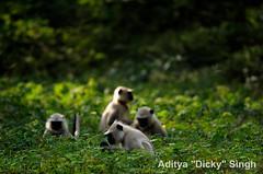 ADS_000005795 (dickysingh) Tags: wild india monkey outdoor wildlife aditya langur ranthambore singh primates ranthambhore dicky adityasingh ranthamborebagh theranthambhorebagh wwwranthambhorecom