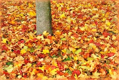 Autumn Carpet of Maple Leaves - Fall Colours, Germany (Batikart) Tags: park autumn light red orange okto