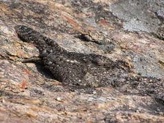 Nightjar (Caprimulgus sp.)