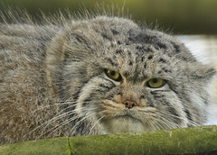 Grumpy (Julia-D) Tags: cat kent pallas tula pallascat cc100 whf velvetpaws flickrbigcats