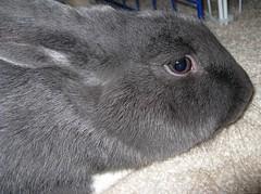 Mr. Mitzy closeup (telaine) Tags: rabbit bunny grey 10 gray ten rex mitzy dewlap