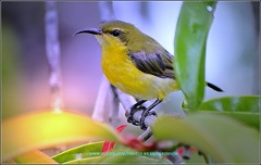 Wow what a beautiful day! (Ericbronson's Photography) Tags: park bird nature interesting singapore wildlife nights pasir 1001 sunbird ris aplusphoto ericbronson thebestofday vosplusbellesphotos saariysqualitypictures
