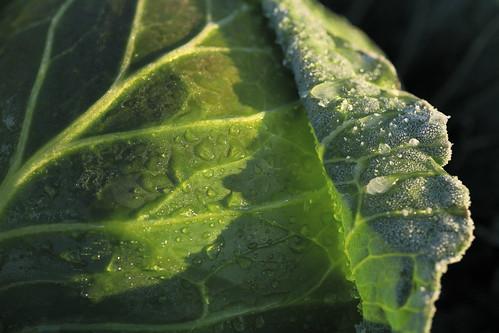 アブラナ科アブラナ属の多年草