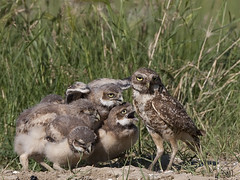 Burrowing Owl Update (Random Images from The Heartland) Tags: bird nature birds southdakota wildlife aves heartland raptor fockers raptors owls athenecunicularia burrowingowl chrisbailey southdakotawetlands specanimal bail56 southdakotausa southdakotaburrowingowlphoto randomimgesfromtheheartland
