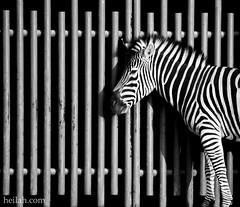 IIIIIIIIIIII////// (Heilah Alnasser) Tags: bw monochrome lines animals fence zoo nikon stripes sigma zebra 70300mm riyadh d300 heilah heilahalnasser