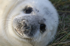 Donna Nook Seals December 2009 008