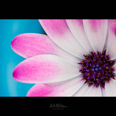 Elegant Blue (Mike Golding) Tags: life christmas pink flowers blue light orange plant detail macro nature poster petals purple illumination 100mm pot gift bunch