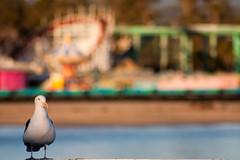 Warm sand, cool surf, hot rides! (KayVee.INC) Tags: sf california ca santacruz december dof seagull wharf photoaday 365 2009 dailyphoto daytrip seagul christmasday month1 beachboardwalk cavey project365 365project kayvee 025365 kayveeinc ahmemoriesktrmeadow