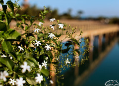 Bridge of the Cyans' Land! (Explored) (Ammar Al-Fouzan) Tags: bridge flowers explore elgouna topseven ammaralfouzan canon5dmarkii canonef50mmf12lusmlens