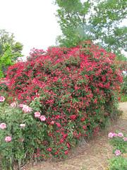 Rustons Roses