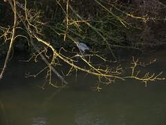 shy heron