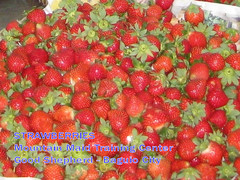 strawberries_bgo2