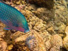 Uhu (IanLudwig) Tags: hawaii kauai poipu uhu parrotfish poipubeach hawaiibeach kauaicounty canond10 kauaihawaii kauaicoast kauaicoastresort kauaibeachvillas kauaisands hawaiicoast kauaisandshotel kauaibeach kauaiisland kauaitravel condohawaii kauaibeachresort kauaiwedding hawaiiresort coconutkauai gardenislandkauai kauaivacationrental hawaiiluau poipukai kauaicondo poipubeachkauai hawaiipoipu kauaihoneymoon princevilleresortkauai kauaisnorkeling kauailuau hawaiiplantation kauaitours poipukairesort coconuthawaii kauaiactivities kauaiaccommodations kauairestaurants hawaiiresorts kauaihotel kauihawaii kauairental kauaiwailua kauaihotels vacationrentalskauai kauaiweather kauaiphotos condoshawaii kauaicheap kauaimap resortkauai vacationrentalshawaii kauaiattractions alohakauai condoskauai dealskauai golfkauai hotelsinkauai hotelskauaihawaii kauaiaccommodation kauaibeachhouse kauaihawaiirentals kauaikiahunaplantation kauaipackages kauairesorts plantationkauai poipucondo poipucondos poipuhotels poipuresort poipuvacationrentals