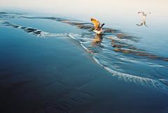 sea gulls on the sand (lomokev) Tags: blue sea seagulls bird beach water birds sand brighton wildlife seagull animales agfa ultra animale nikonos uploadedtoflickr deletetag nikonosv nikonos5 nikonosfive file:name=081113nikonusv05 roll:name=081113nikonusv nikonagfaultra