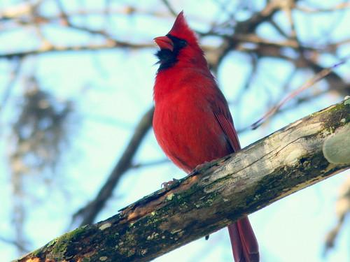 Northern Cardinal 20100228