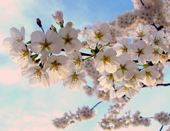 Cherry Blossoms: in the sky & blowin' in the wind (Kurlylox1) Tags: flowers trees motion blur clouds spring wind windy blowing sakura cherryblossoms blowin breezy blooming yoshino blossomsinthesky