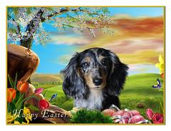 Harley the Easter Dachshund...! (Buikschuivers) Tags: girl pretty longhair dachshund harley happyeastereveryone buikschuivers