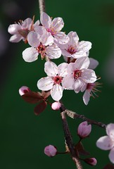 Flowering Plum (dog_toes) Tags: plumblossom floweringplum