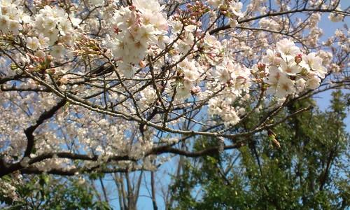 千鳥ケ淵の桜-7