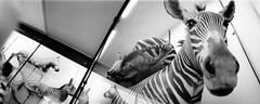 zebra (pho-Tony) Tags: film animals museum 35mm lens stuffed lomo lomography fuji natural display cabinet stripes horizon stripe panoramic ishootfilm swing taxidermy 1600 zebra swinglens analogue 135 stripey expired russian tring perfekt horizon202 202 nhm hertfordshire iso1600 zebras 5x2 fujicolor c41 russiancameras kompakt filmisnotdead  autaut horizon perfeckt  202 historm