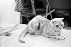 Nice bokeh! (【978】) Tags: bw film cat ds 貓 kodaktrix400 咩咩 達蓋爾 summitar50mmf20 分裝片 leicam3doublestroke