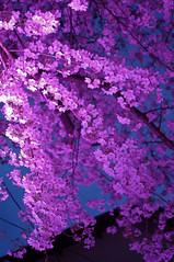 night pink (naoK) Tags: pink flower color macro 35mm tokyo pentax blossoms sakura limited stroll sugamo lightroom k7 smcpentaxda35mmf28macrolimited someicemeteries