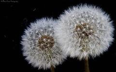 Twins... (MFotography*) Tags: flowers dandelion heads stems
