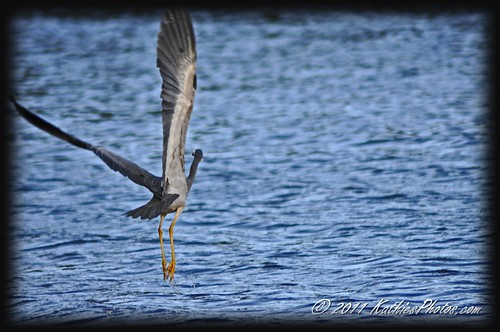 White faced heron in flight