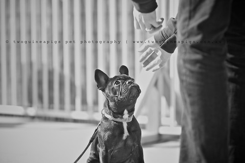 A keen and fast learner, Rosie in class,  French Bulldog, pet portraiture by twoguineapigs Pet Photography, sydney dog photographer