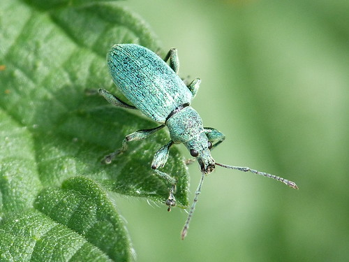 Green Nettle Weevil (Phyllobius pomacues) by Peter Orchard