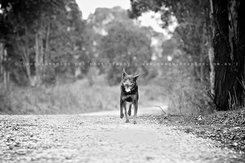 Dog run dog Baxter the Kelpie, photographed by twoguineapigs pet photography.