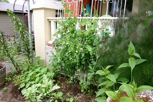 peas, peppers, lilies, fennel, nasturtium