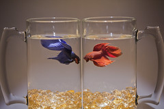 0330-1013-MT-Bettas-Red-Blue-W (Larry Flynn) Tags: blue red fish beautiful animal proud fight brawl interesting colorful dynamic natural artistic brothers duo duet profile attack posing attractive jewels majestic macho goodlooking bettasplendens active brawn primal agressive spartans siamesefightingfish feud bettas fightingfish donnybrook posturing opponents adversaries beersteins combatants