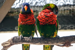 Loris (KPPG) Tags: loris papagei florida bird vogel tier animal samsungnx nx3000 nature natur
