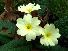 Primula vulgaris (ERIK THE CAT Struggling to keep up) Tags: wildflowers staffordshire derrington primulavulgaris doublefantasy