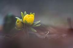 Téltemető (georchy) Tags: eranthis hyemalis winter aconite spring nature téltemető