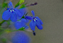 501_0115_2_72 - Photo of filtered blue Lobelia flowers with white centers and green leaves (BTerryComptonPhotography) Tags: pink blue b red white abstract flower green art nature leaves leaf compton fluorescent filter terry swirl lobelia vinca bterrycompton