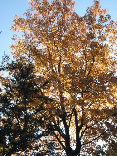 neighbor's sweet gum tree in autum 2009 (by Ateupamateur)