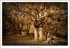 Otoo (Jess Gabn) Tags: autumn espaa textura forest spain bosque otoo textured robles platinumpeaceaward theacademytreealley jessgabn