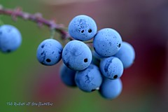 blue berry-HBM (NURAY YUZBASI) Tags: blue macro closeup canon turkey happy berry dof 100mm blueberry monday ankara grape hbm myrtille zm canonef100mmf28macrousm billberry canonrebelxti specialpicture anawesomeshot yabanmersini likapa 100commentgroup saariysqualitypictures maviyemi