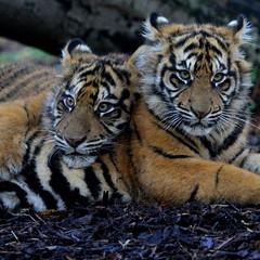Cozy Cubz (Gary Wilson  ) Tags: ireland nature animal canon eos cub wildlife tiger bigcat 7d sumatrantiger panther tigris sumatran tigercub dublinzoo 100400l emaswanita