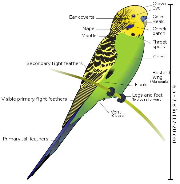 Perusul-anatomie