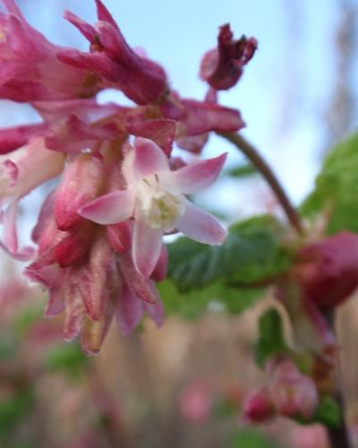 Flowering Currant 02