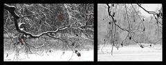 (xdun) Tags: winter bw parco white snow black tree nature foglie canon leaf flickr december mj natura bn photograph pixel neve foglia fotografia albero inverno dicembre bianco 2009 nero monza mija buffa eos450d blackwhitephotos wwwmijalabnet unrealpixel mijalab mijabuffa