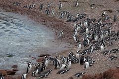 baudchon-baluchon-pinguins-3140