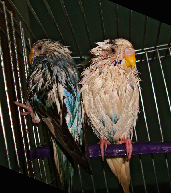 My Budgies!