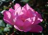 Rosy Pink (mimicapecod) Tags: flowers roses nature lightandshadows flora pinkrose pinkflowers naturesfinest fantasticflower mywinners diamondclassphotographer flickrdiamond flickrsfantasticflowers hppt photosofqualitytosmileabout pinkandpowerful happyprettypinktuesday