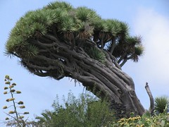 La Palma - Drachenbaum bei Puntagorda (Chironius) Tags: españa spain lapalma landschaft espagne dracaena spanien drago spagna dracaenadraco drachenbaum asparagales asparagaceae drachenbäume испания spargelgewächse nolinoideae