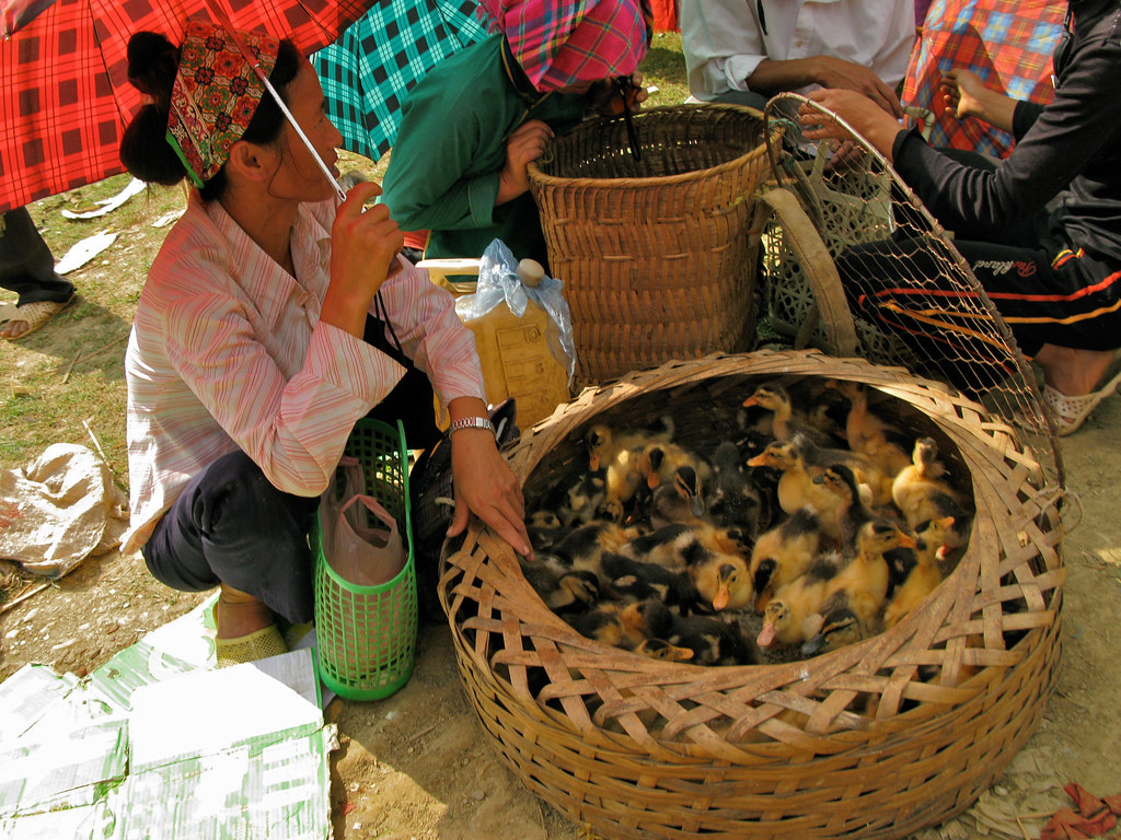 Bac Ha Market : Woman selling ducklings... Vietnam