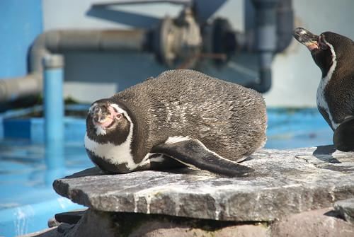 日向ぼっこするフンボルトペンギン